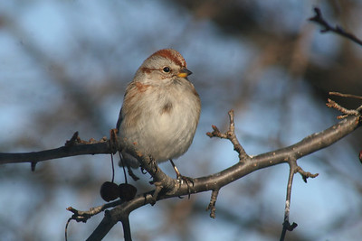 Sparrows, Towhees and Longspurs