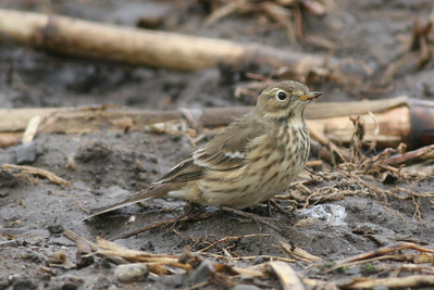 Wagtails, Pipits and Bulbuls
