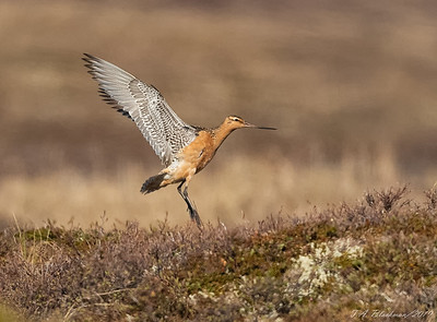 Bar_tailed Godwit