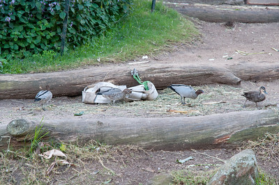 Australian Wood Duck's & Pacific Black Duck
