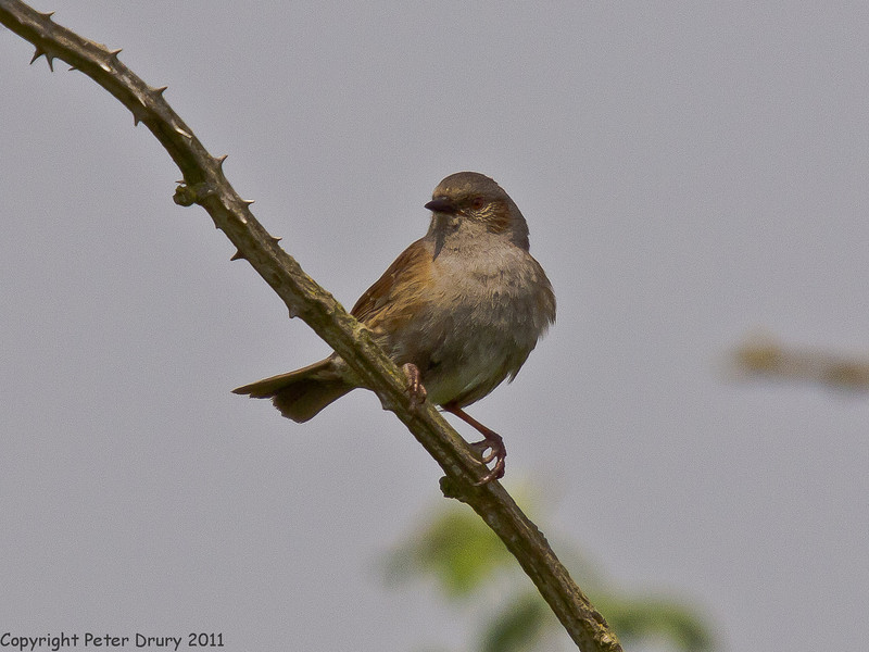 29 April 2011. Dunnock at Milton Common. Copyright Peter Drury 2011