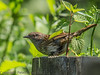23 May 2012 Dunnock at Catherington Down.
