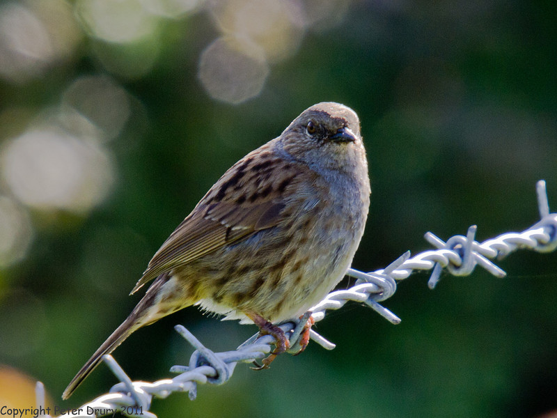 16 May 2011. Dunnock at the salt marsh. Copyright Peter Drury 2011
