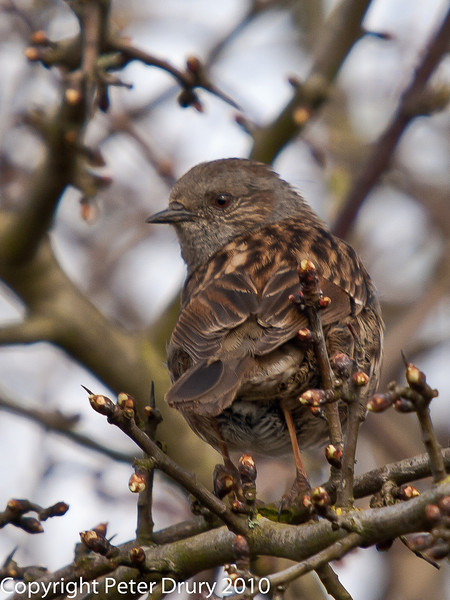 04 Apr 2010. Dunnock at Portchester Common. Copyright Peter Drury 2010