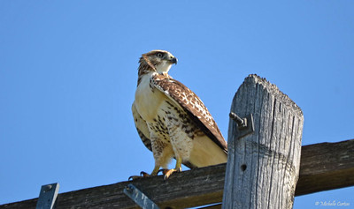 Red-tailed Hawk
