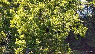 Bald Eagle -- Emblem of the United States