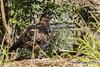 Talon - Lone Pine's Wedge-tailed Eagle