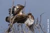 Immature White-bellied Sea-Eagle