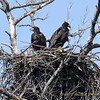 Juvenile Bald Eagles