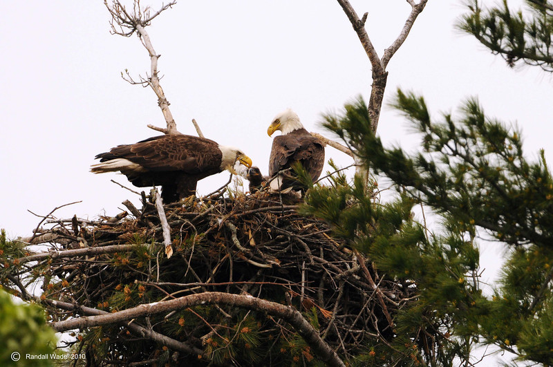 Bald Eagle Family in Nest