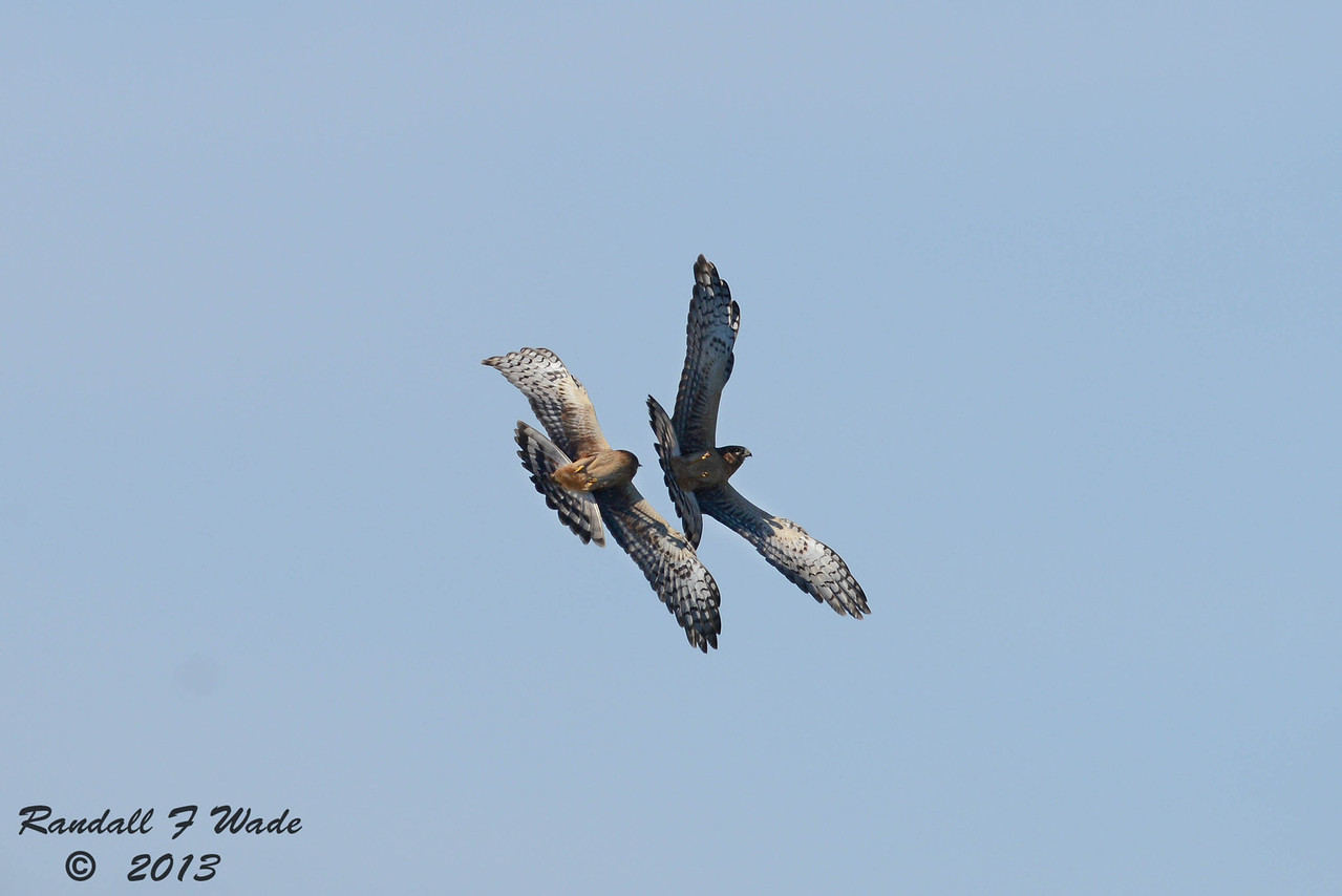 Immature Northern Harriers