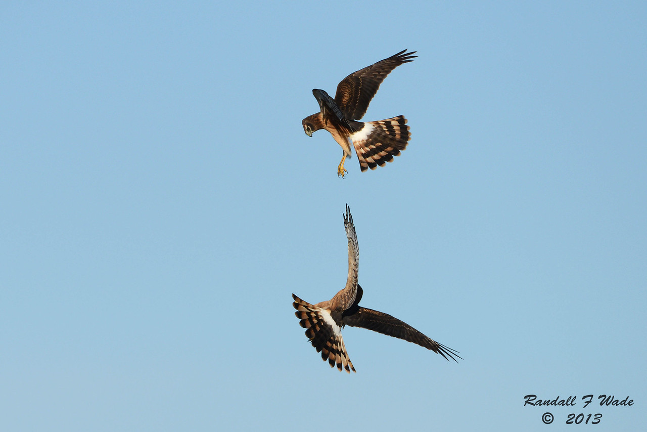 Immature Northern Harriers At  Play