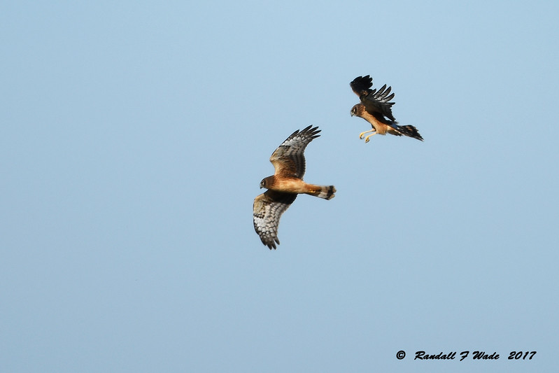 Juvenile Harriers