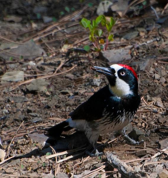Adult Male Acorn