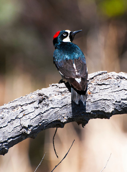 Adult Male Acorn Woodpecker