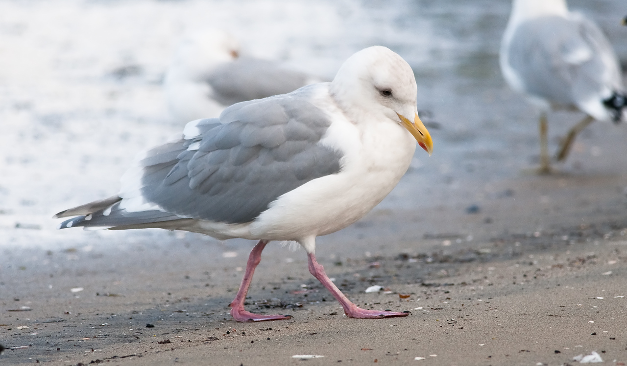 Glaucous-winged Gull (adult)