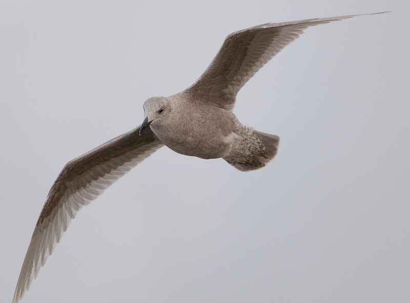 Glaucous-winged Gull (juvenile)
