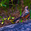 Spotted Towhee : I recommend that you click on the slide show button at the top right side of this page to sit back and enjoy the fine art show. When the slide show begins, I suggest that you click on Hide Captions to view the images unencumbered by text. You can click on the 'Slow,' 'Medium,' or 'Fast' button for your speed preference.