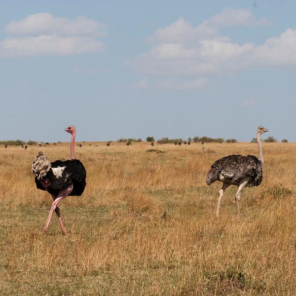 063_20130826_154331_Africa_7531_656_ Ostrich