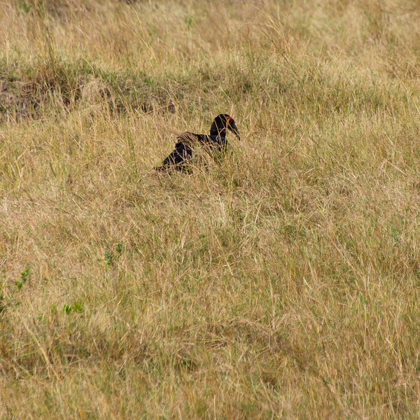 20130823_155712_Africa_8211_751SouthernGroundHornbill_