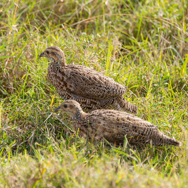 018_20130820_161832_Africa_7267_774_CoquiFrancolin
