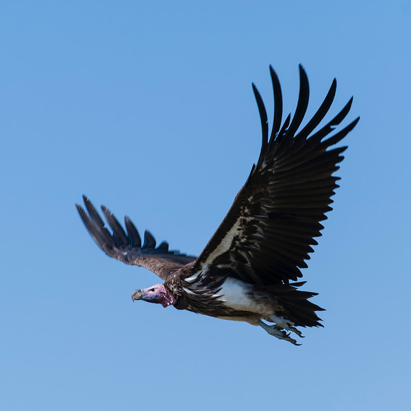 048_20130828_094804_Africa_7902_508_LappetFacedVulture