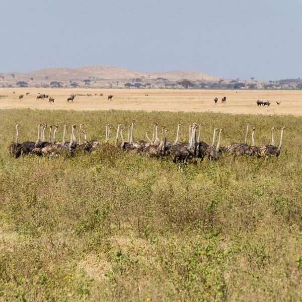 065_20130818_100820_Africa_6701_558_Ostrich