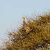 109_20130818_072658_Africa_6651_511_YellowNeckedSpurFowl