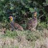 110_20130820_163358_Africa_6907_797_YellowNeckedSpurFowl