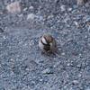Fischer's Sparrow Lark  Amboseli<br /> 115_20130818_134746_Africa_6431_840_