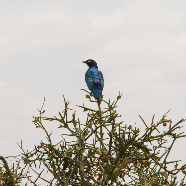 087_20130817_115523_Africa_6253_149_SuperbStarling