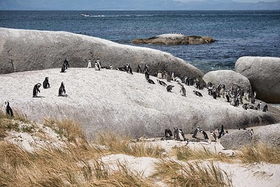 African (aka jackass) Penguins