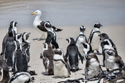 Kelp Gull and African Penguin
