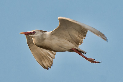 Cattle Egret - Angola