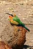 CRAY-AfricaBirds-IMG_1240U