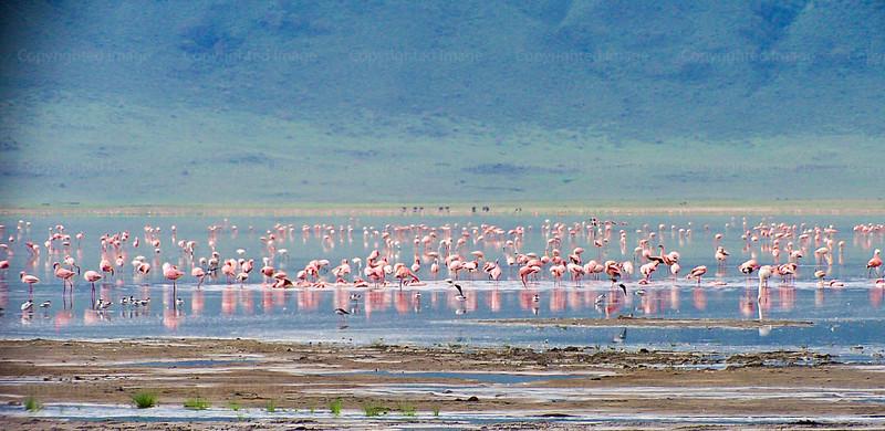 FlamingosNNC291703