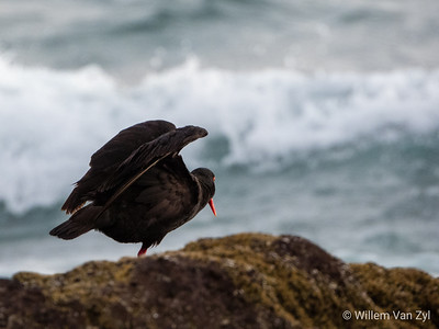 African Oystercatcher (Haematopus moquini) from Doorspring, Lambert's Bay, Western Cape