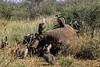 1974-02-014 White-backed Vultures feeding on African Elephant carcas, Amboseli, June 16 1974