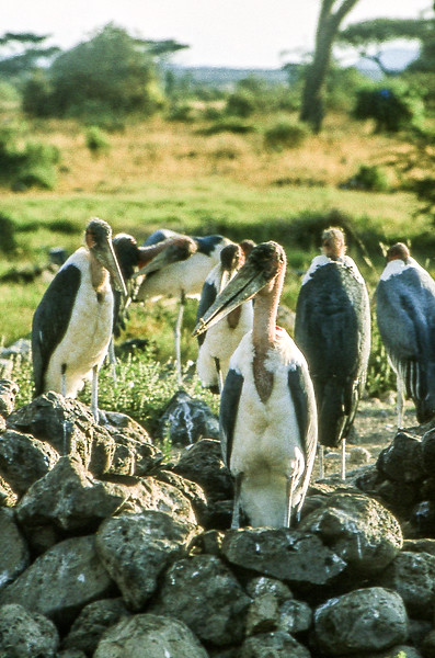 1974-02-1858 Marabou Stork, Amboseli, June 15 1974