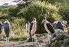1974-02-1857 Marabou Stork, Amboseli, June 15 1974