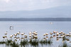 1974-02-016 Greater Flamingo, Lake Naivasha, 1974