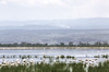1974-02-018 Greater Flamingo, Lake Naivasha, 1974