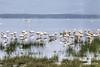 1974-02-015 Greater Flamingo, Lake Naivasha, 1974