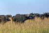 1974-02-1983 Cape Buffalo, Masai Mara, June 11 1974