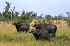 1974-02-0224 Cape Buffalo, Masai Mara, June 11 1974