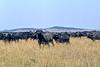 1974-02-1984 Cape Buffalo, Masai Mara, June 11 1974