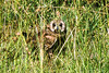 1974-02-0170 Marsh Owl, Masai Mara June 11 1974