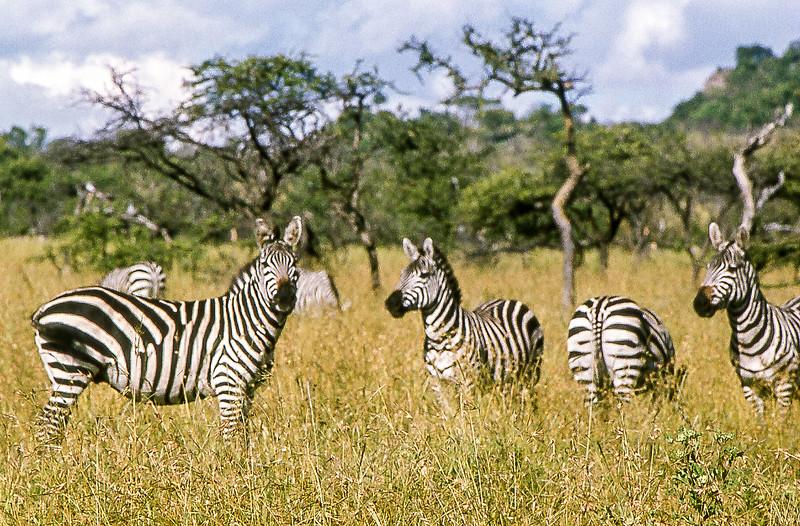 1974-02-2003 Boehms Zebra, Masai Mara June 11 1974