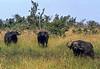 1974-02-1982 Cape Buffalo, Masai Mara, June 11 1974