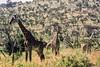 1974-02--11 Masai Giraffe, Masai Mara, June 11 1974